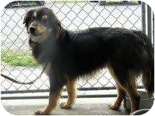 Collie Mix Dog for adoption in New Brighton, Minnesota - Rooster