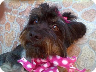 Yorkie, Yorkshire Terrier/Schnauzer (Miniature) Mix Puppy for adoption in Irvine, California - SHELLEY
