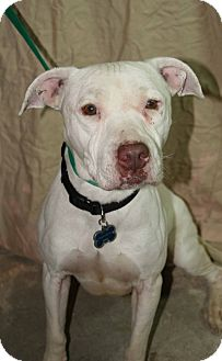 American Pit Bull Terrier Mix Dog for adoption in Westminster, Colorado - Spike