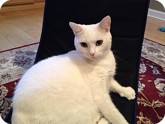 Domestic Shorthair Cat for adoption in East Hanover, New Jersey - Cool Whip - Lap Cat