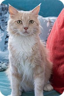 Maine Coon Cat for adoption in Chicago, Illinois - Leo