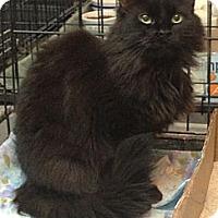 Adopt A Pet :: Simone - Westfield, MA