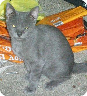 Domestic Mediumhair Kitten for adoption in Sumter, South Carolina - GRAYSON