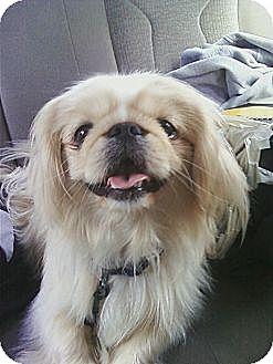Pekingese Dog for adoption in Vansant, Virginia - Hurricane