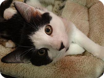 Domestic Shorthair Kitten for adoption in Diamond Bar, California - GIMICK