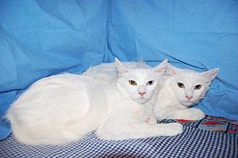 Oriental Cat for adoption in Fullerton, California - Crystal