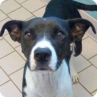 Rhodesian Ridgeback Mix Dog for adoption in Parma, Ohio - Aditya
