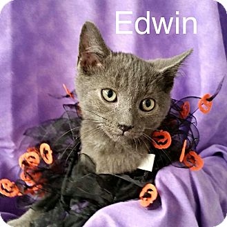 Domestic Shorthair Kitten for adoption in Williamston, North Carolina - Edwin