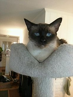 Siamese Cat for adoption in Burbank, California - Emo