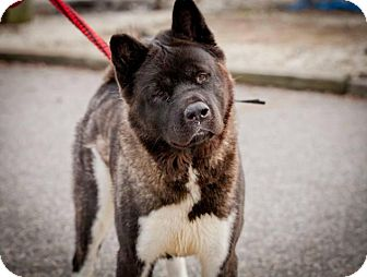 Akita Dog for adoption in Toms River, New Jersey - Lulu