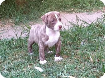 American Pit Bull Terrier Mix Puppy for adoption in Westerly, Rhode Island - Skylar