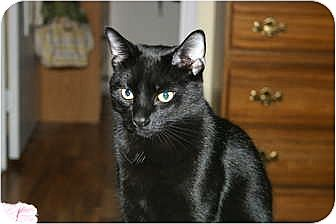 Domestic Shorthair Cat for adoption in St. Louis, Missouri - Shadow