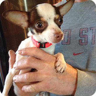 Chihuahua Mix Dog for adoption in Ashville, Ohio - Atom