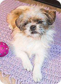 Shih Tzu Mix Dog for adoption in Savannah, Georgia - Mary Ellen