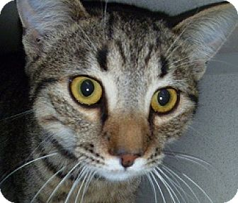 Domestic Shorthair Cat for adoption in Hamburg, New York - Arthur