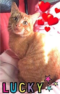 Domestic Shorthair Cat for adoption in Harrisburg, North Carolina - Lucky