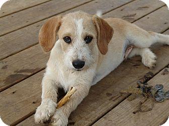 Terrier (Unknown Type, Medium) Mix Puppy for adoption in Allentown, Pennsylvania - doodle