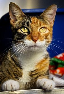 Domestic Shorthair Cat for adoption in Hot Springs, Arkansas - Patience