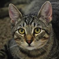 Domestic Shorthair/Domestic Shorthair Mix Cat for adoption in Sonoma, California - Finn