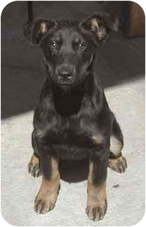 Doberman Pinscher/German Shepherd Dog Mix Puppy for adoption in El Segundo, California - Shawnee