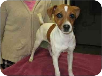 Jack Russell Terrier Puppy for adoption in Florence, Indiana - Daisy
