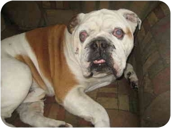 English Bulldog Dog for adoption in San Diego, California - Titus