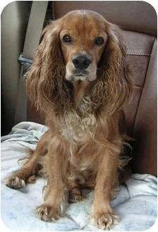 Cocker Spaniel Dog for adoption in Sugarland, Texas - Trey
