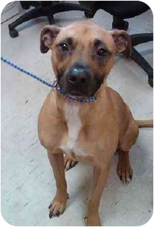 Boxer/Great Dane Mix Dog for adoption in Homer, New York - Tucker