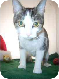 Domestic Shorthair Cat for adoption in North Charleston, South Carolina - Cranberry