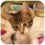 Photo 1 - Domestic Shorthair Kitten for adoption in Byron Center, Michigan - Stanley