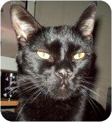 Siamese Cat for adoption in Saint Clair Shores, Michigan - Woo-Adoption Pending