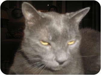 Russian Blue Cat for adoption in Laguna Woods, California - Smokey