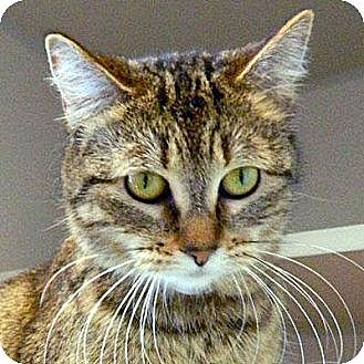 Domestic Shorthair Cat for adoption in Denver, Colorado - Daffodil