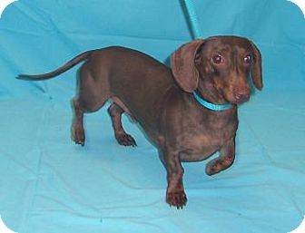 Dachshund Mix Dog for adoption in Larned, Kansas - Snickers