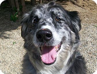 Australian Shepherd Mix Dog for adoption in Fennville, Michigan - Soara