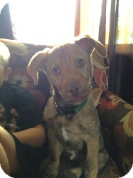 Labrador Retriever/Shepherd (Unknown Type) Mix Puppy for adoption in Marlton, New Jersey - Baby Jet
