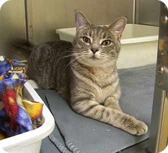 Domestic Shorthair Cat for adoption in Dover, Ohio - Gabby