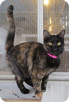 Domestic Shorthair Cat for adoption in Geneseo, Illinois - Tancy