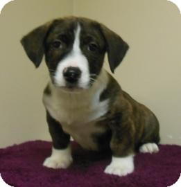 Collie Mix Puppy for adoption in Gary, Indiana - Paulie
