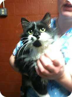 Domestic Longhair Kitten for adoption in Hazard, Kentucky - Fluffagus