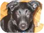 Labrador Retriever/Retriever (Unknown Type) Mix Puppy for adoption in London, Ontario - Tibbs