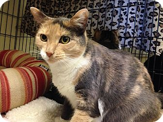 Domestic Shorthair Cat for adoption in Warwick, Rhode Island - Pie
