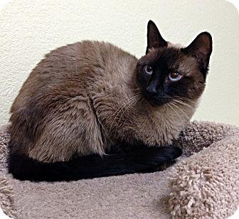 Siamese Cat for adoption in Phoenix, Arizona - Millie