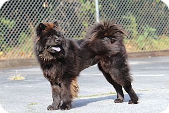 Chow Chow Dog for adoption in Tucker, Georgia - China