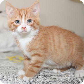 Domestic Shorthair Kitten for adoption in Novato, California - Spice