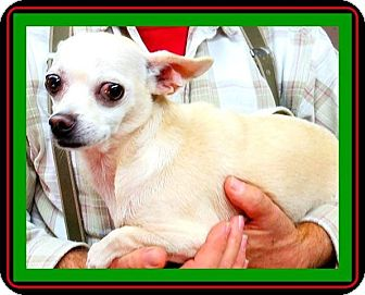 Chihuahua Dog for adoption in Barnegat, New Jersey - Cotton