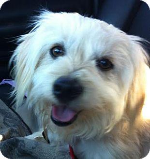 Maltese/Havanese Mix Dog for adoption in Westport, Connecticut - *Levi - PENDING