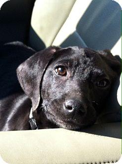 Labrador Retriever/Spaniel (Unknown Type) Mix Puppy for adoption in CHAMPAIGN, Illinois - LAILA