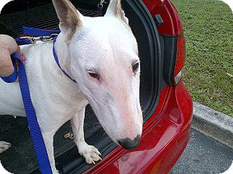 Bull Terrier Dog for adoption in Miami, Florida - Matilda