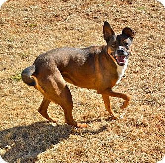 Labrador Retriever/Boxer Mix Dog for adoption in Homewood, Alabama - Sue